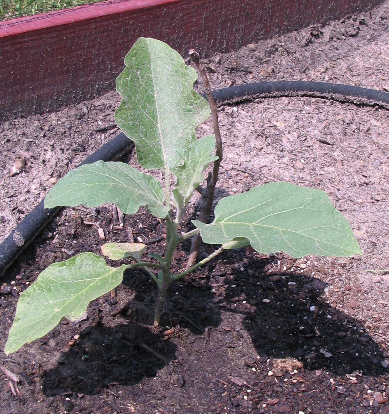 The Container Garden On The Corner: The Eggplant Plants