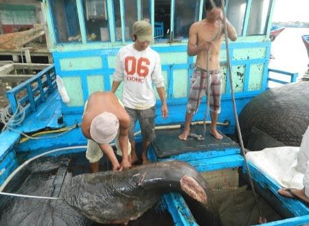 Loại cá độc và lạ được ngư dân đánh bắt ở đại dương với độ sâu hàng trăm mét.