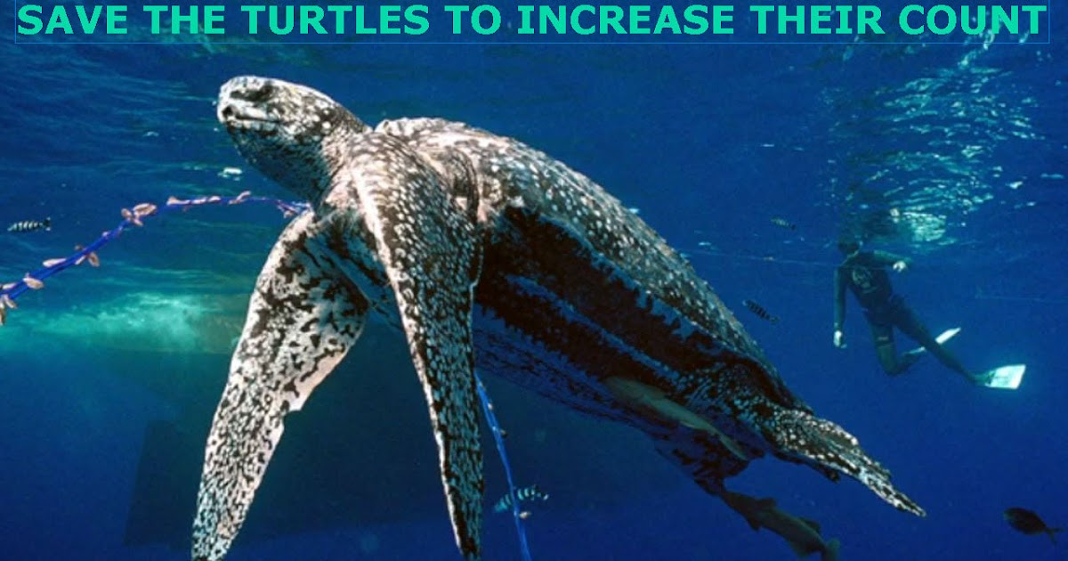 The leatherback or leathery turtle : Dermochelys coriacea