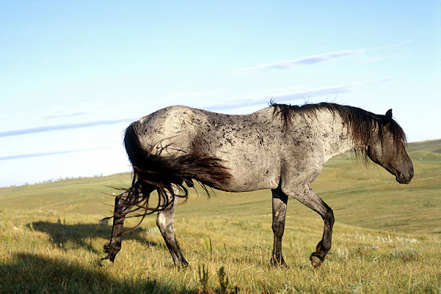 Saving the Nokota horse breed, a descendent from Sitting Bull's horses, from extinction (Video)