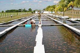 Proyecto piscicola caracteristicas del proyecto for Proyecto de tilapia en estanques
