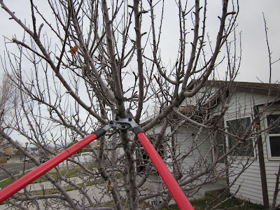 Loppers Cutting an Apple Tree Branch