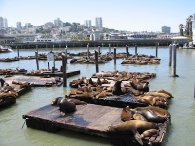 Animals may have dispersed after the Genesis Flood using rafts, these sea lions seem ready to go
