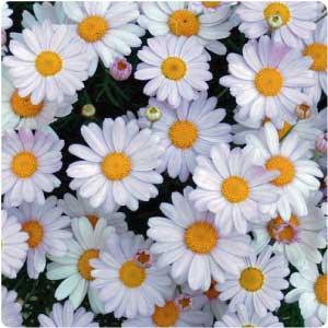 Bunga Chamomile Putih