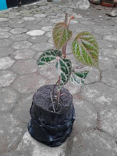 manfaat daun sirih merah manfaat daun sirih untuk mata manfaat daun sirih hijau manfaat daun sirih untuk wajah manfaat daun sirih bagi wanita manfaat daun sirih untuk kesehatan manfaat daun sirih hitam