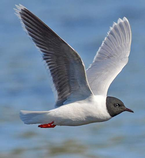 Birds of India - Photo of Little gull - Hydrocoloeus minutus