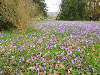 In nearly 200 years Crocus vernus has spread itself out a bit
