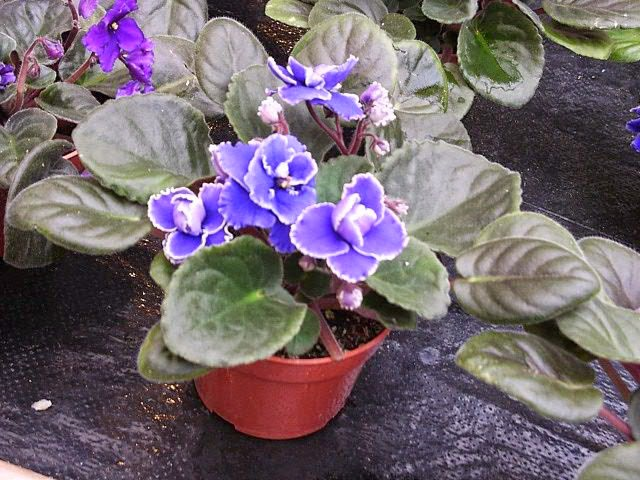 How To Grow And Care For African Violets Garden How
