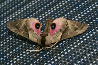 Paonias excaecatus - Sphinx aveugle