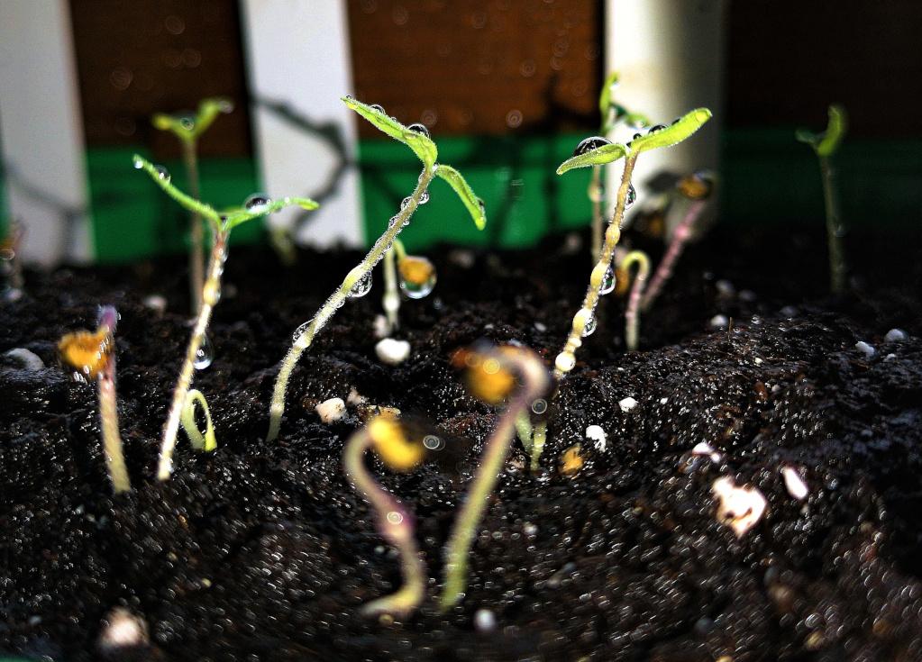 Huawai P20 – Ganz zarte Tomatenpflänzchen - 24 Stunden später