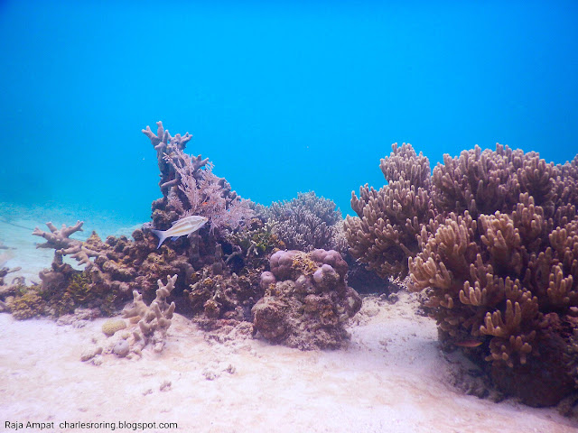 coral reef in south waigeo island
