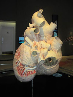 Plastinated Heart.