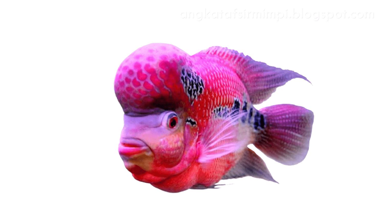 Unduh 6100 Koleksi Wallpaper Iphone Ikan Cupang Hd HD Gratid