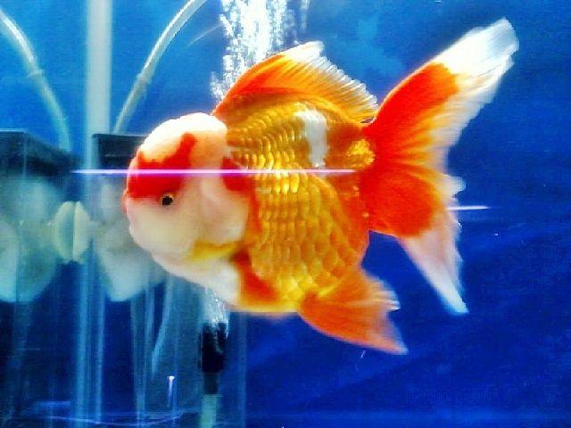 Jenis ikan kan Mas Koki