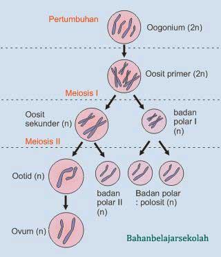 Proses pembentukan gamet spermatogenesis dan oogenesis skema oogenesis ccuart Image collections
