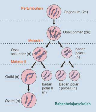 Proses Pembentukan Gamet Spermatogenesis dan Oogenesis