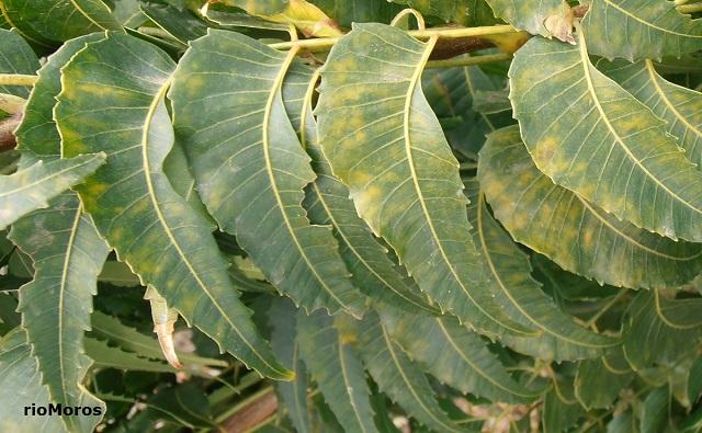 Hojas de Árbol del Nim Azadirachta indica