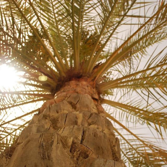 Rintihan Pohon Kurma