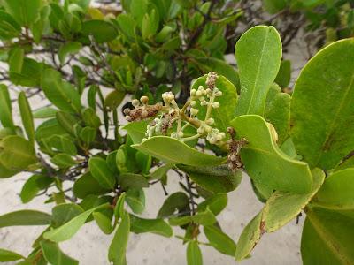 Laguncularia racemosa – White Mangrove, Puerto Villamil, Isabela Island, Galápagos