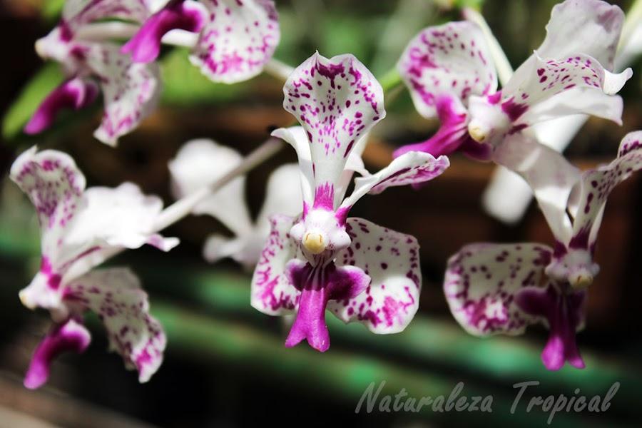 Orquídea del género Vanda