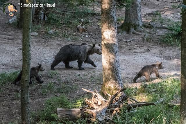 orsi slovenia mamma orso con due cuccioli