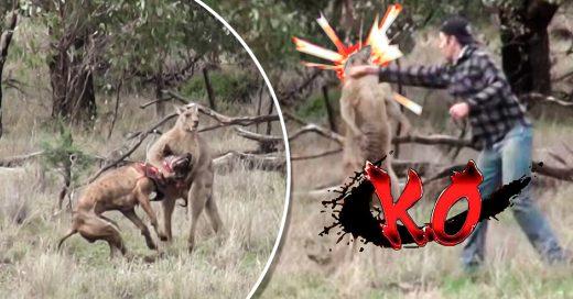 Este canguro atacó el perro de un hombre, así que él lo golpeó en la cara
