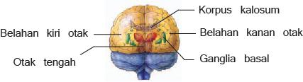 Gambar bagian-bagian otak manusia