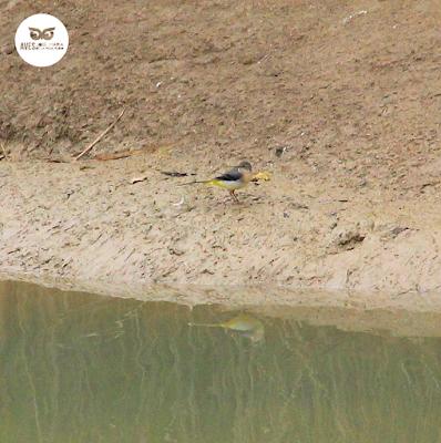 Lavandera cascadeña (Motacilla cinerea) reflejada en el agua de los galachos del Ebro.