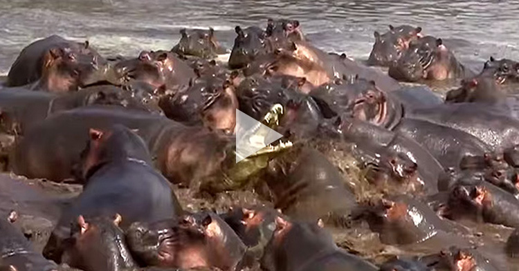 Pod of Hippopotamus Knocks Off a Crocodile