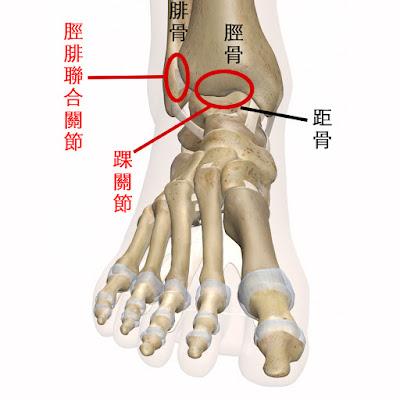 腳踝 踝關節 脛腓聯合關節