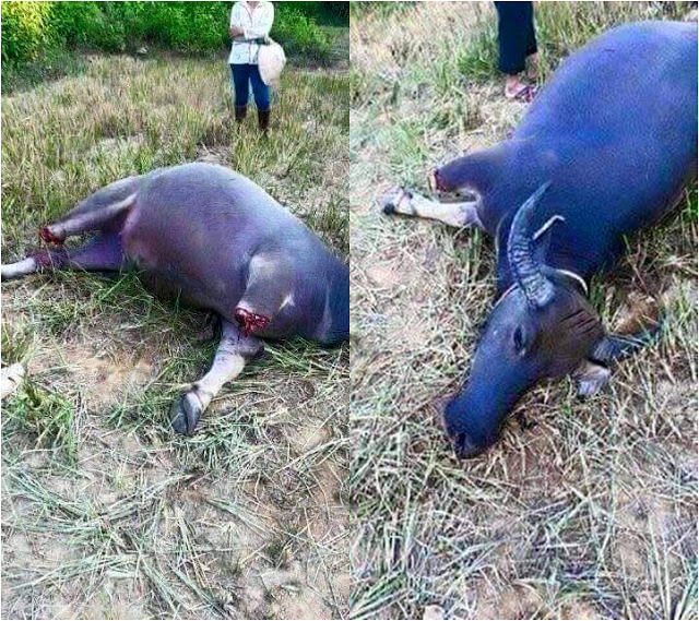 Local farmer mourns for the loss of his Carabao that was killed by a ruthless thief! The netizens were enraged!