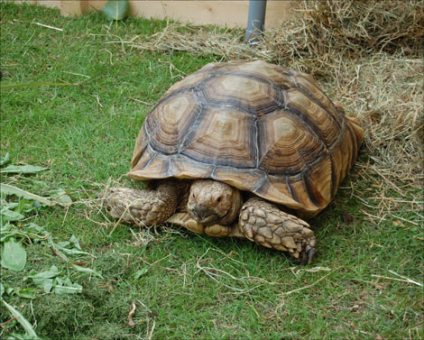 African spurred tortoise - photo#32