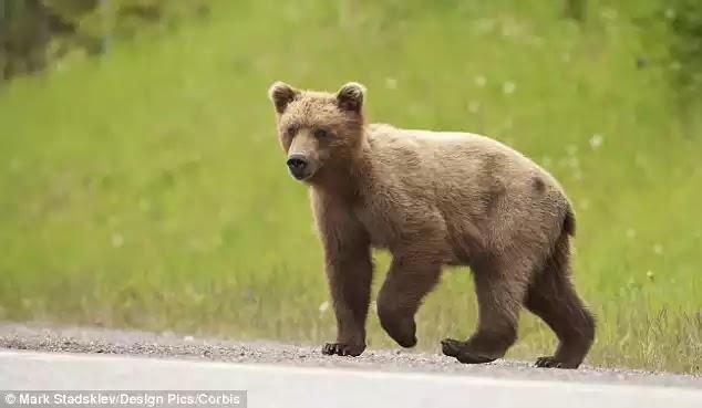 Αρκούδα ανοίγει πόρτα ΙΧ και κλέβει σνακ – Δείτε το βίντεο