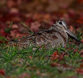 Eurasian woodcock - Scolopax rusticola