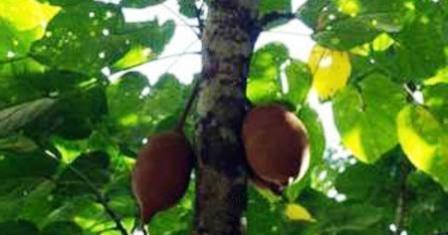 Mengenal Pohon Pucung, Keluwek Dan Manfaatnya - Petani Millenial