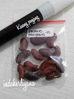 benih kacang panjang