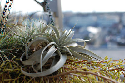 Tillandsia xerographica care - The King of Air Plants