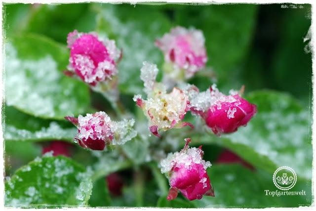 Gartenblog Topfgartenwelt Wetter: Im April droht immer wieder Spätfrost, 4 Tipps wie Du Deine Pflanzen schützen kannst. Apfelblüte im Schnee.