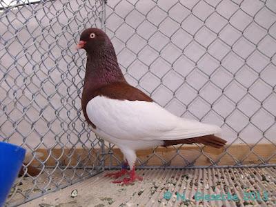 tumbler pigeons - german pigeons