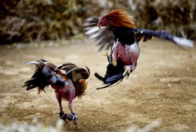 Sejarah Ayam tarung