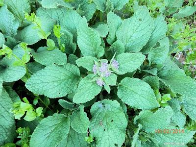 Μπόραγκο-Borago officinalis