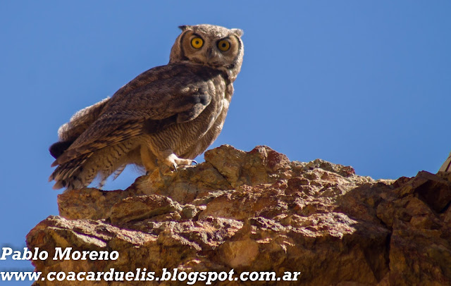 """alt=""""tucuquere,aves de Mendoza,Bubo magellanicus,buho"""""""
