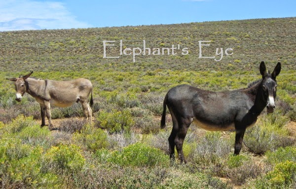 Donkeys in the Karoo