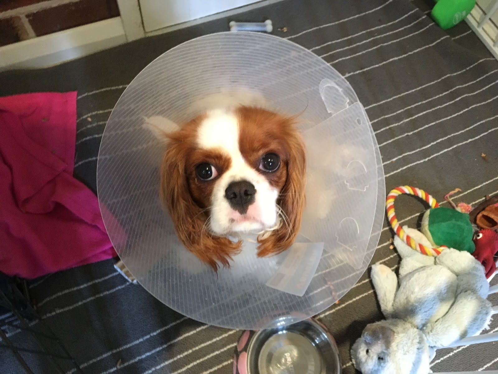 brown and white puppy head in plastic cone looks up at camera surrounded by toys