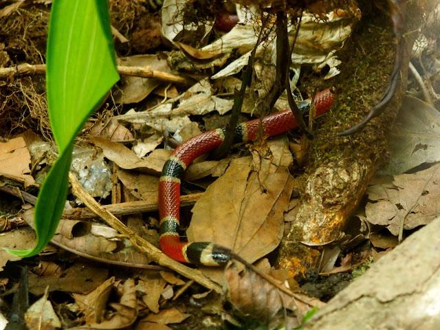 Snakes & reptiles in the Herpatarium, Monteverde, Costa Rica