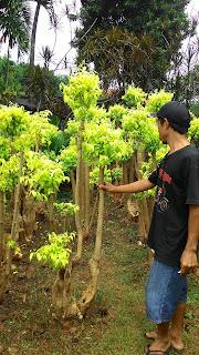 kami tukang taman minimalis menjual pohon bonsai anting putri dengan harga paling murah cocok untuk taman minimalis