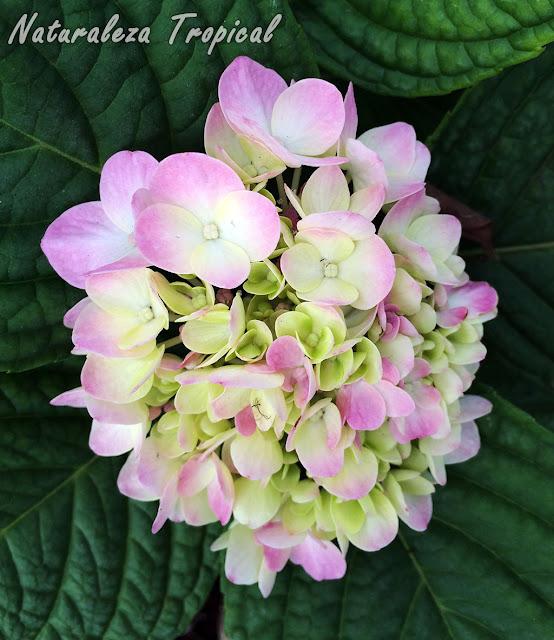 Flores de una Hortensia, género Hydrangea