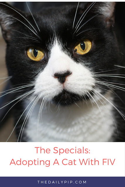 Boots a cat with FIV needs a home