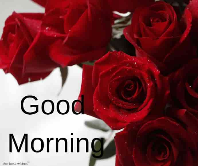 red roses morning love rose