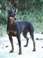 Manchester Terrier toy dog on beach
